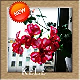 20 PCS / Lot White & amp; Red Rand Geranium Samen, Stauden Blumensamen Pelargonium Peltatum Zimmerblumen, # 7VB94S 2
