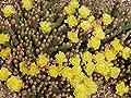 Kakteengarten 3 winterharte Pflanzen Opuntia fragilis gelbe Blüte / zerbrechlicher Feigenkaktus im 9cm Topf von Eigenproduktion auf Du und dein Garten