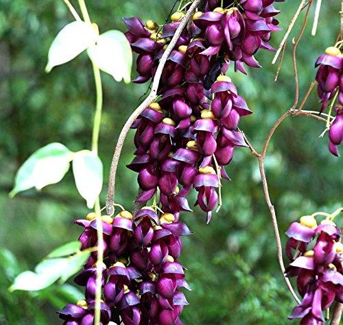 Asklepios-seeds - 5 Samen Mucuna sempervirens (Synonym: Mucuna japonica/mairei) Samtbohne, Sea Bean