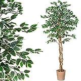 PLANTASIA Ficus-Baum