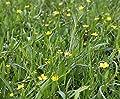 2er-Set - Ranunculus flammula - Brennender Hahnenfuß, gelb - Wasserpflanzen Wolff von Wasserpflanzen Wolff - Du und dein Garten