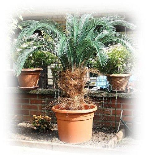 Exklusive CYCAS Superior Outdoorpalme ca. 120/130 cm, wetterfeste Kunstpalme für den geschützten Aussenbereich (Outdoor-palmen)