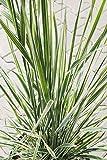 Gestreiftblättriges Garten-Reitgras im 5 Liter Topf, Gräser braun-rot blühend, Staude winterhart-mehrjährig, Beetpflanze sonnig, Calamagrostis x acutiflora