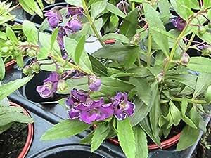 5 ANGELONIA ALONIA PLUG PLANTS (BLUE)