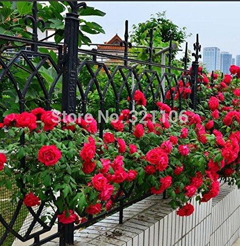 100 rosiers grimpants Red Seeds, Heirloom, magnifique, fleur bricolage jardin maison, la cour de pot