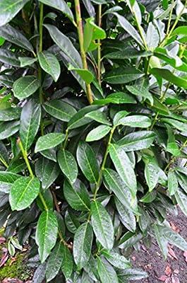 immergrüner Kirschlorbeer Prunus laurocerasus Genolia -R- 80 -100 cm hoch im 5 Liter Pflanzcontainer von Plantenwelt Wiesmoor - Du und dein Garten