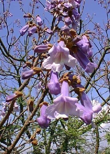 TROPICA - Blauglockenbaum (Paulownia tomentosa) - 200 Samen