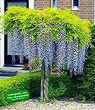 BALDUR-Garten Blauregen auf Stamm