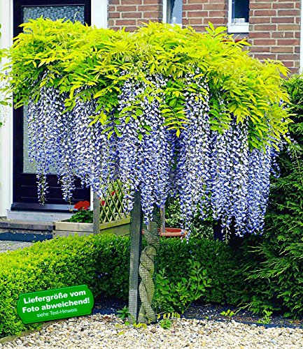 BALDUR-Garten Blauregen auf Stamm, 1 Pflanze Wisteria sinensis Glycinie