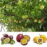 Keptei Samenhaus- 20 Korn Maracuja Passionsfrucht Samen (Passiflora edulis) Obstpflanze Granadilla Seed mehrjaehrig schmeckt gut (Rot)