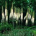 Steppenkerze Himalaicus von Gärtner Pötschke - Du und dein Garten