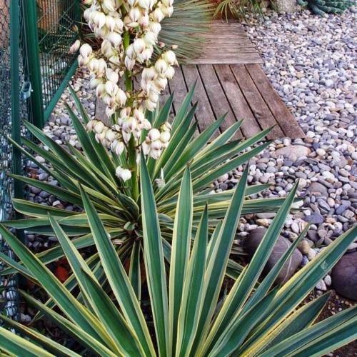 2 Yucca flaccida color Variegata bunte Gartenyucca Y2 winterhart