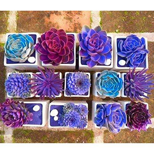 clifcragrocl seeds 200pcs mixed rare beauty succulent facile da coltivare mini semi di fiori da giardino in vaso