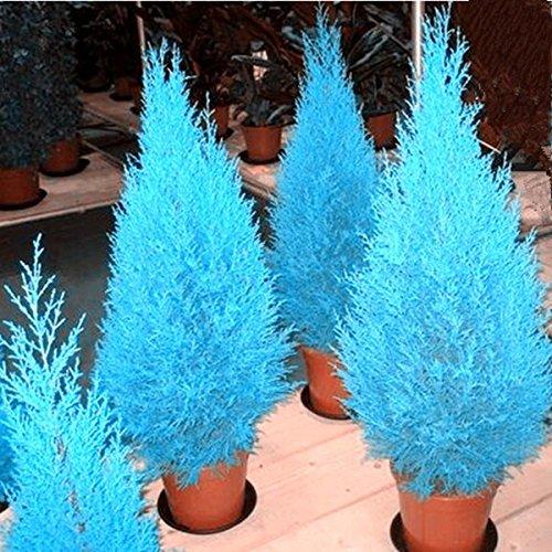Heißer Verkauf Zypressen Platycladus orientalis orientalische Thuja Samen Conifer sät DIY Hausgarten 20 Samen