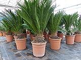 XXL Palmfarn 80 - 100 cm Cycas Revoluta Sagopalme Palme, innen + außen