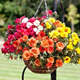 #10: Seedscare Hybrid Portuluca Mixed Flower Seeds (Pack of 100)
