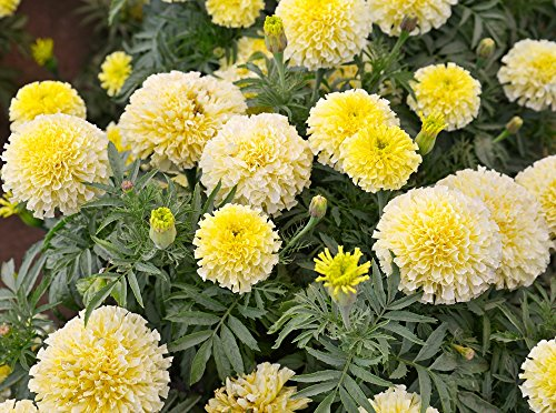 Marigold Semi di vaniglia francese - Tagetes erecta nana fl. Pl