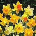 HomeAndGarden.UK Osterglocken-Mix Narcissus (Zwiebeln, groß, 12 - 14°cm Durchmesser) von HomeAndGarden.UK - Du und dein Garten