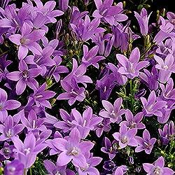 Kölle Polster-Glockenblume - Campanula poscharskyana - blau-Violette Blüten, im 9 cm Topf - frisch aus der Gärtnerei - Pflanzen Gartenstaude