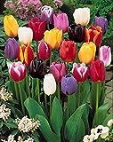 Willemse France 004218 Lot de 50 Plantes Tulipes à longues tiges Multicolore 15 x 15 x 20 cm