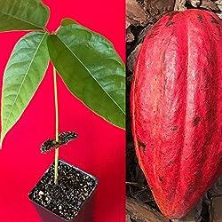 "PLAT FIRM GERMINATIONSAMEN: Red Theobroma Cacao Kakao Schokolade Tropical Obstbaum Topfpflanze 10-13"""