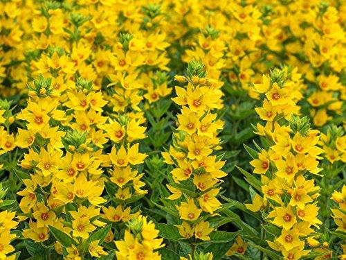 Goldfelberich Lysimachia vulgaris 200 Samen