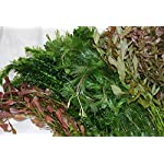 50 Bunched & Weighted Live Aquarium Plants - Aquatic Plants for your fish tank 8
