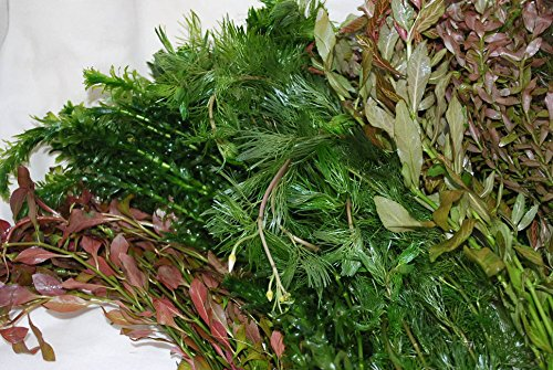 50 Bunched & Weighted Live Aquarium Plants - Aquatic Plants for your fish tank 4