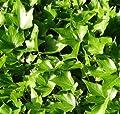 10x Efeu Green Ripple 10-15cm - Hedera helix von Baumschule bei Du und dein Garten