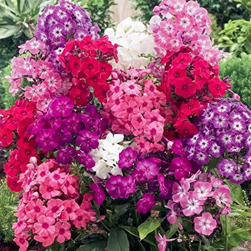 AIMADO Samen-Rarität 50 Pcs Super-Duft-Phlox-Kollektion Samen,Sommerphlox Blumensamen mischung Sommerblumen Mehrjährig Winterhart Saatgut für farbenfrohe Beete und Schnittstauden