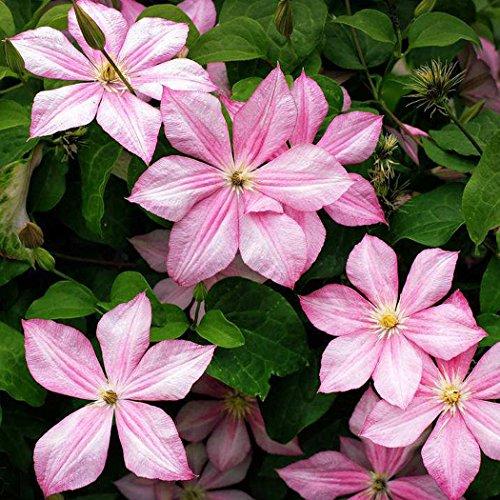 Keptei Samenhaus - Garten Clematis Samen Kletterpflanzen Samen Zierpflanze Blumen Samen Climbing Clematis Immergrün für Garten mehrjährig winterhart