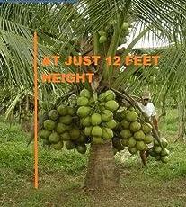 Advancedestore Qualitative Hybrid Live Plant Kerala Coconut Tree Plant