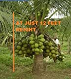 #7: Advancedestore Qualitative Hybrid Live Plant Kerala Coconut Tree Plant