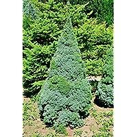 Weihnachtsbaum - Weißfichte - Picea glauca Conica - verschiedene Größen (50-60cm - Top 2Ltr.)