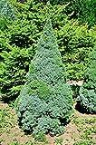Weihnachtsbaum - Weißfichte - Picea glauca Conica - verschiedene Größen (100-120cm - Topf 7,5Ltr.)