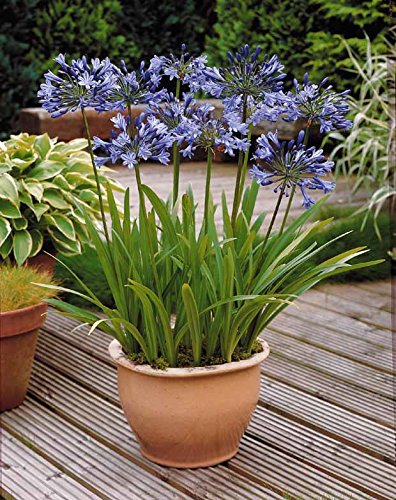Willemse France 3 Agapanthes bleues