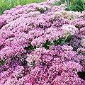 lichtnelke - Pracht - Fetthenne ( Sedum telephium AUTUMN JOY ) von Lichtnelke Pflanzenversand - Du und dein Garten