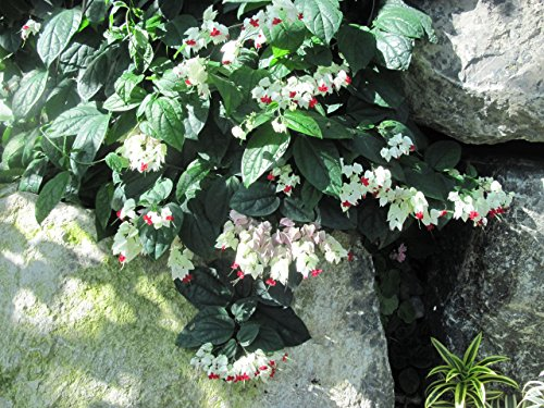 Clerodendrum thomsoniae: bleeding glory-bower (English Edition)