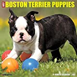 Just Boston Terrier Puppies 2017 Wall Calendar by Willow Creek Press (2016-07-06)