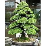 ESHOO Zedern Samen Cedrus Baum Samen Bonsai DIY Haus Garten Pflanze