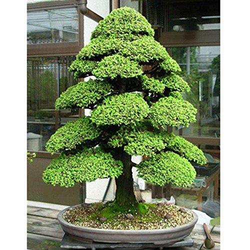 Brightup 30 Pièces Graines de Cèdre japonais Graines de plantes de jardin
