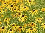 Gelber Sonnenhut Ratibida columnifera 50 Samen