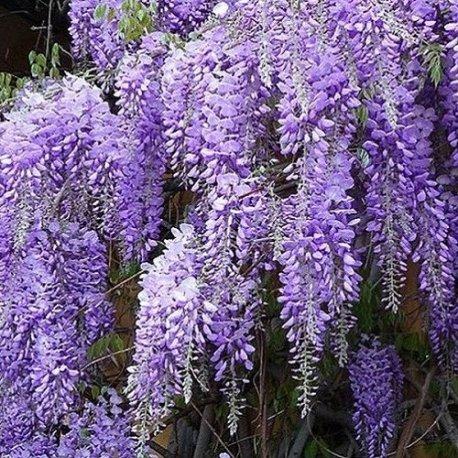 Wisteria sinensis (glicine cinese) - vaso 1,5 litro (pianta rampicante - pianta adulta - resistenza al freddo: ottima) - muri e recinzioni, pergola, balconi e terrazze | clematisonline