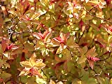 Lila Zwergspiere 'Magic Carpet' - Spiraea japonica Magic Carpet - Containerware 30-40 cm - Garten von Ehren®
