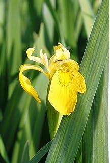 Iris siberica   2 Gärtnertöpfe  9x9cm mit jeweils 3-5 Pflanzen