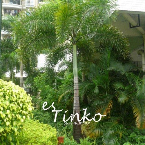 2ST Wodyetia bifurcata Samen Bonsai-Baum-Samen Foxtail Palm Garden Ornament Baum Topfpflanze DIY
