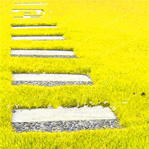 500 Pcs Rare Blue Grass Seed Graines à gazon Fleurs vivaces Jardin Terrains de soccer Villa Haute GradeOutdoor Graine de plantes 5
