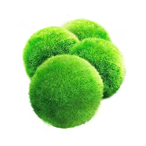 4 LUFFY Marimo Moss Balls – Aesthetically Beautiful & Create Healthy Environment – Eco-Friendly, Low Maintenance & Curbs Algae Growth – Shrimps & Snails Love Them 612eommT1KL