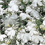 Fiore - Lobelia Rampicante - Regatta Bianco - 1000 Seme