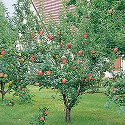 Dominik Blumen Und Pflanzen, Apfel Gravensteiner® Busch, 1 Pflanze